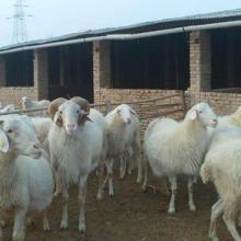 小尾寒羊适合圈养还是适合放养批发