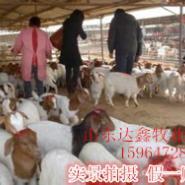 波尔山羊繁殖母羊价格低质量高图片