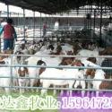 波尔山羊小羊苗价格低图片