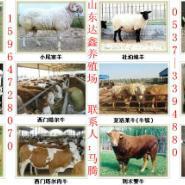 波尔山羊小羊羔孕羊种羊图片
