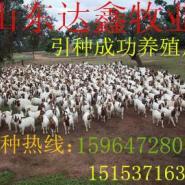 波尔山羊孕羊小羊羔图片