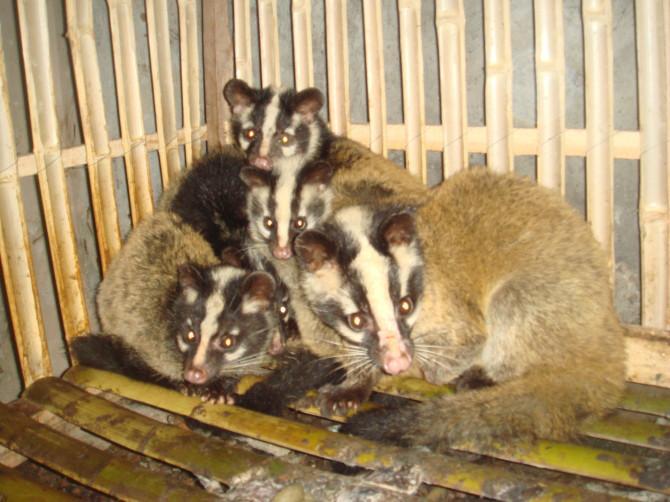养殖场批发特种野生动物果子狸图片大全