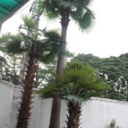 仿真树/人造扇葵树/室外扇葵树图片