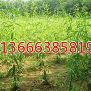 速生杨价格13666385819-冠县生态绿图片