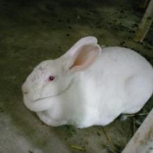 供应美系獭兔