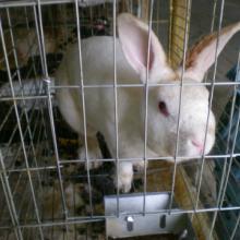 供应德系獭兔