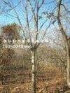 供应白蜡、水曲柳、五角枫、蒙古栎、水榆花楸等山地苗木批发