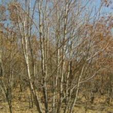 供应大规格蒙古栎,丛生蒙古栎,4-10条桓仁和兴苗木批发