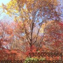 供应蒙古栎、丛生蒙古栎批发