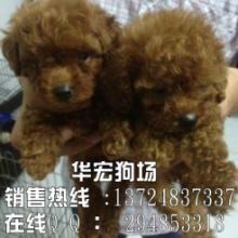 广州哪里的泰迪熊比较好 我想买只泰迪熊