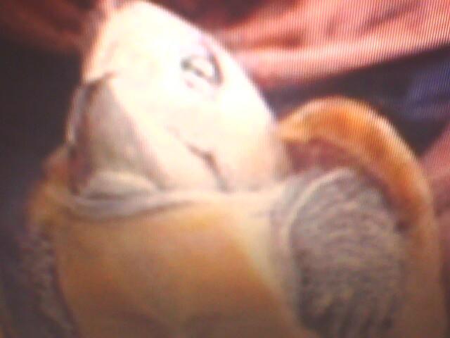 鹦嘴龟(大头龟)