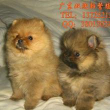 供应泰迪熊,广州泰迪熊,广州泰迪熊电话是多少
