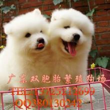 供应常年繁殖销售世界各种名犬,宠物狗萨摩耶批发