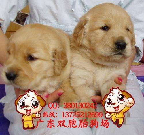 广州/供应广州哪里有狗场卖金毛,在广东双胞胎狗场图片