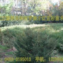 供应东北红豆杉苗圃树种树枝根叶批发