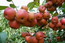 供应冬红果冬红果冬天不落的果