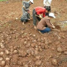 供应贵州魔芋种子批发