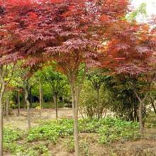供应美国红枫价格-地径2-5公分红枫,美国红枫供应