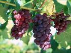 葡萄籽提取物供應葡萄籽提取物