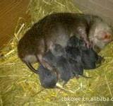 供应来宾竹鼠,来宾竹鼠种苗,来宾竹鼠商品,来宾竹鼠出售,来宾竹鼠供应