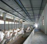 供应西北奶山羊,西北奶山羊养殖中心,西北最大奶山羊养殖场