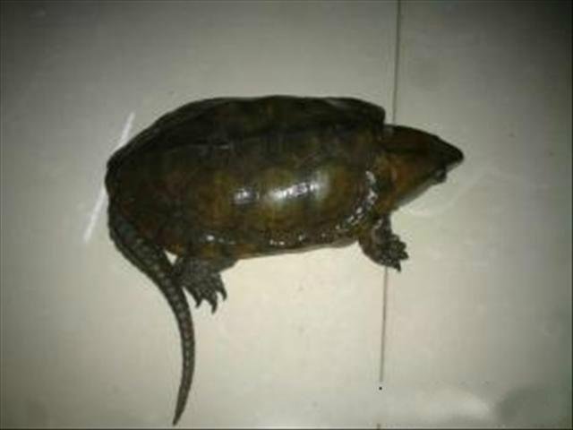 最大乌龟是什么样的-鹦嘴龟大头龟   光的周期一般而言夏季可以设置约14小时的光源,而冬