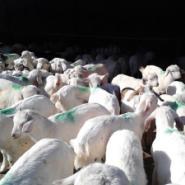 白山羊养殖羊技术图片