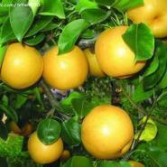 苹果梨苗图片