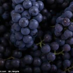 供應葡萄籽提取物葡萄籽95原花青素OPC廠家現貨供應