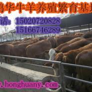 鲁西黄牛犊批发鲁西黄牛犊价格肉牛图片
