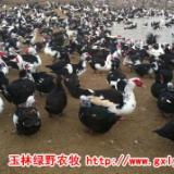 供应广州番鸭苗批发