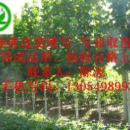 广州5公分15公分5米裸根定杆法桐图片