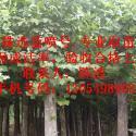 供应法国梧桐天津河南5公分速生法桐