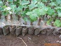 供应赤霞珠葡萄苗,赤霞珠,赤霞珠酿酒葡萄苗,赤霞珠营养体苗批发