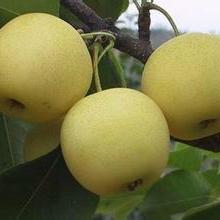 供应黄冠梨苗