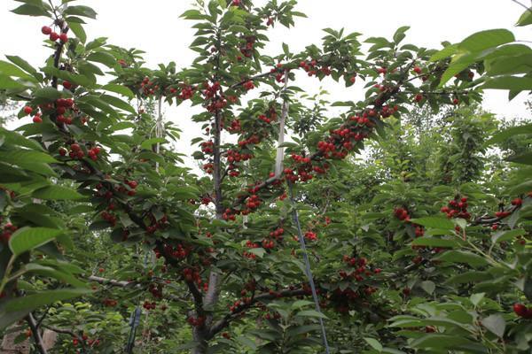 大樱桃树-昌黎苗木图片