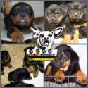 防暴护卫犬罗威那幼犬/狗狗纯种健康保障/可上门看狗