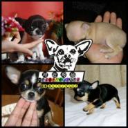 墨西哥吉娃娃幼犬图片