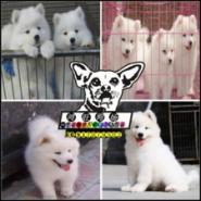 微笑天使萨摩耶幼犬出售图片