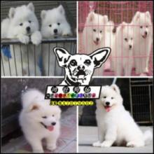 微笑天使萨摩耶幼犬出售 健康可签协议 特价优惠出售图片