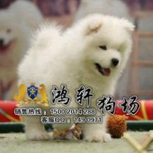 鸿轩狗场-广州纯种微笑天使萨摩耶找新家毛色靓品相佳萨摩耶可送狗上批发