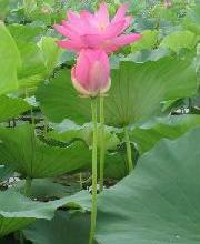 供应水生花卉种植荷花