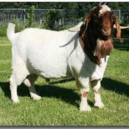 甘肃哪里能买到波尔山羊图片