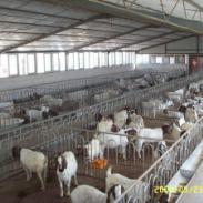 四川波尔羊多少钱图片