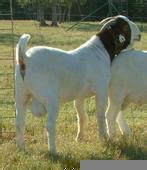 山东波尔山羊价格是多少图片