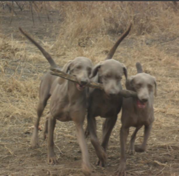 供应什么品种的枪猎犬好威玛猎犬 图