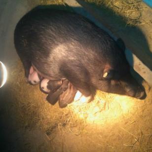徐州巴马香猪电话图片