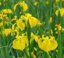 供应中卫鸢尾花,鸢尾花价格,鸢尾花种植公司