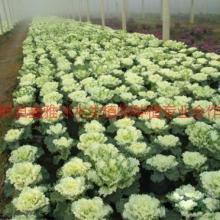 供应高密草花销售,草花种植公司,草花种苗基地批发