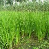 供应灵武芦苇,芦苇价格,芦苇种植公司